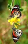 Common Tigers 110508