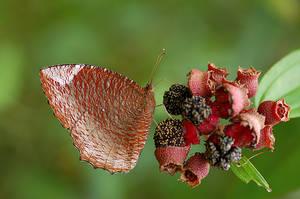 Common Palmfly 070309 by inckurei