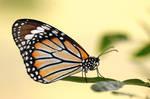 Common Tiger by inckurei