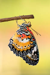 Leopard Lacewing - male 270509