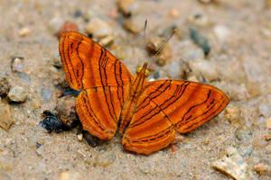 Chersonesia intermedia interme by inckurei