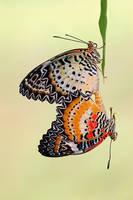 Leopard Lacewing 260609 by inckurei
