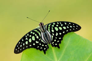 Tailed Jay 100709 upperwing by inckurei