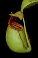 Nepenthes bicalcarata by inckurei