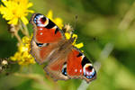 Halmstad Butterfly 3