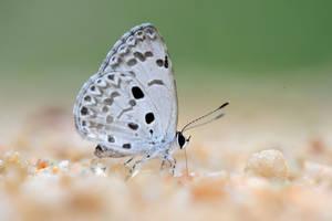 Common Hedge Blue 0707013 by inckurei