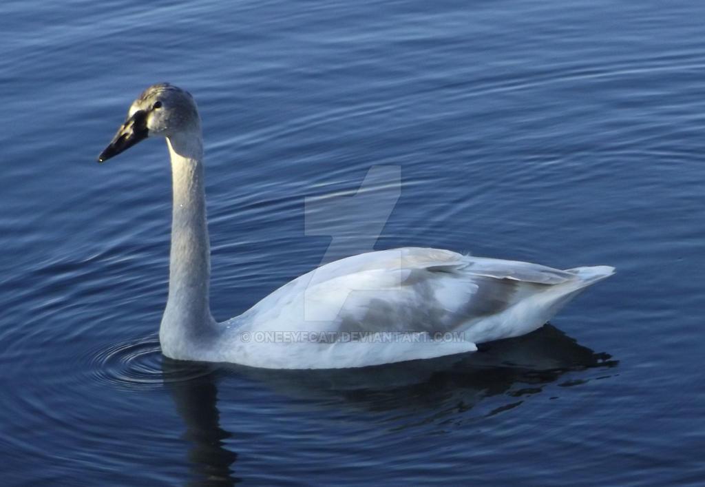 Trumpeter Swan by Oneeyecat