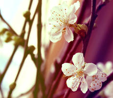 Sakura 2. by ZoeWieZo