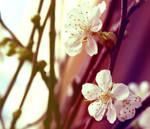 Sakura 2.