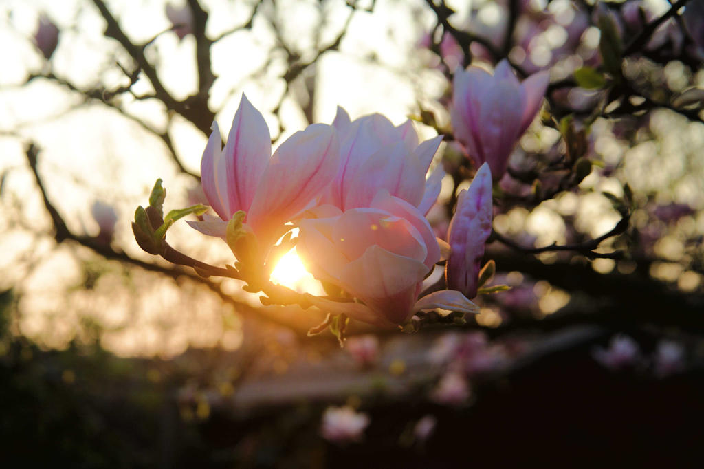 Sunset Magnolia by pdjbarber