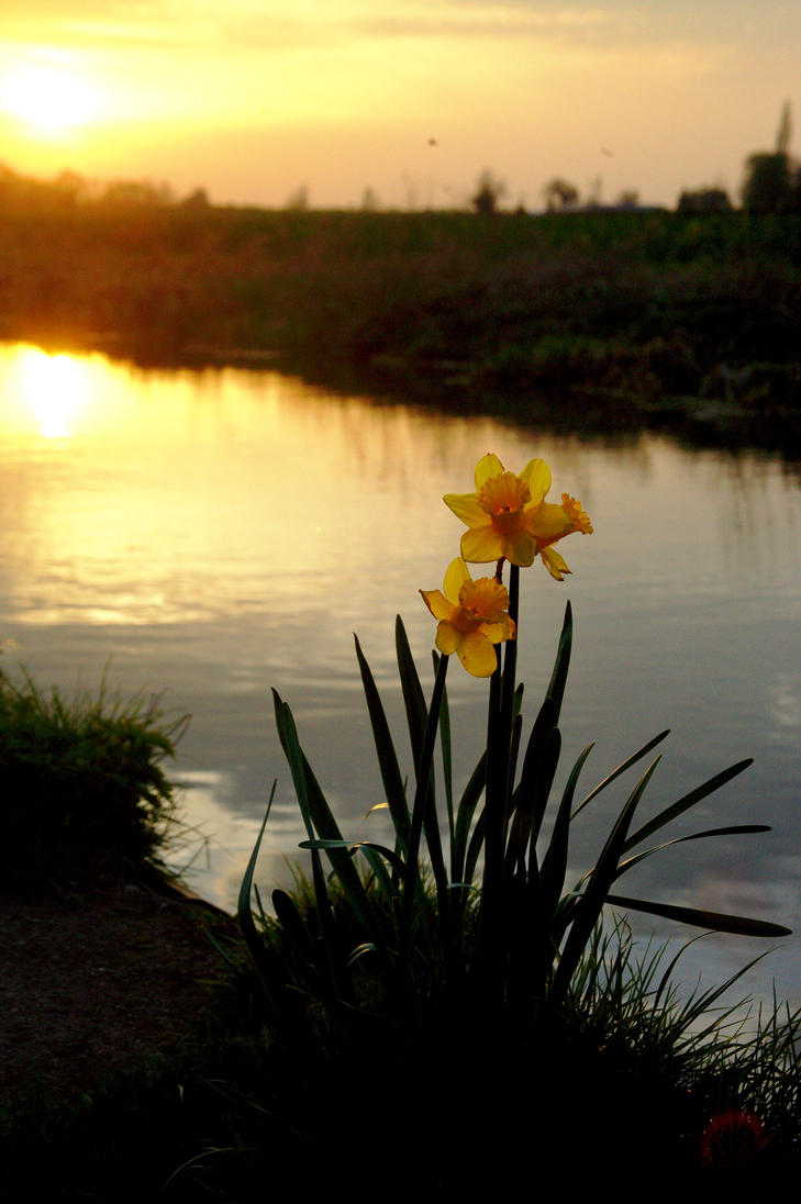 daffodill in the Sunset by pdjbarber