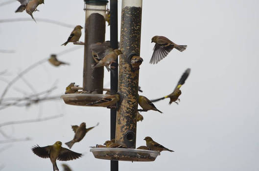 Goldfinches galore