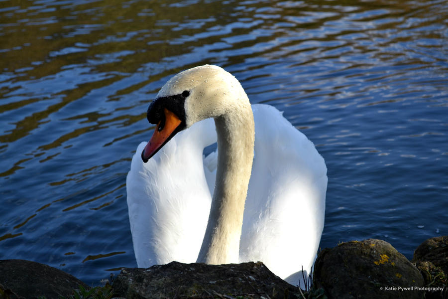 Curious Swan by Lady---Vengeance