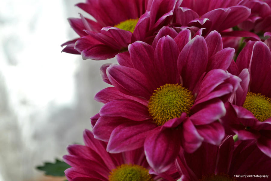 Chrysanthemums by Lady---Vengeance