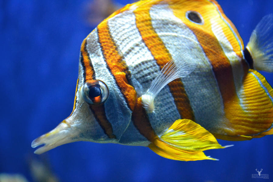 Copper-banded Butterflyfish by Lady---Vengeance