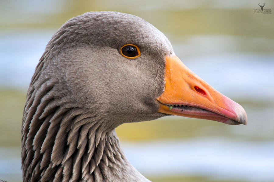 Goose Close-up by Lady---Vengeance