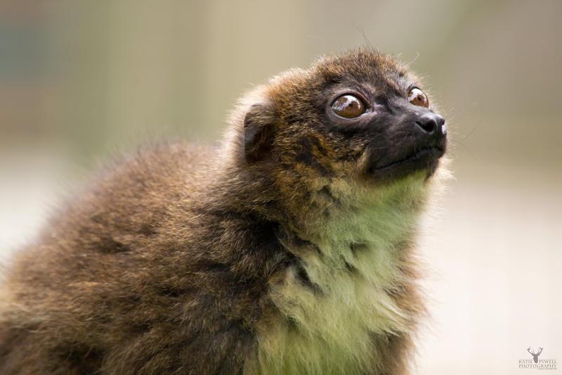 Red Bellied Lemur by Lady---Vengeance