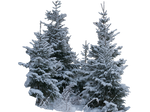 Wintery spruces 1 PNG - unrestricted stock