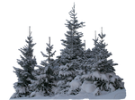 Wintery spruces 2 PNG - unrestricted stock
