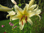 Yellow lilies 3 - unrestricted stock