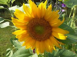 Sunflower 01 - unrestricted stock by MariaLoikkii