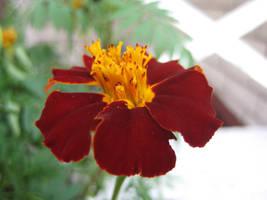 Marigold 02 - unrestricted stock by MariaLoikkii