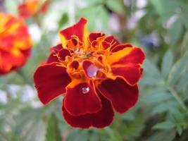 Marigold 03 - unrestricted stock by MariaLoikkii