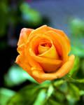 Greek Rose - Orange