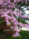 Blooming Tree 2