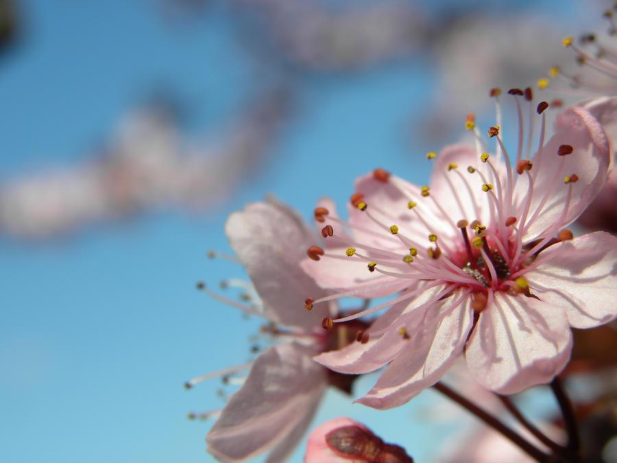 Spring Blossom by 0--Sakura--0