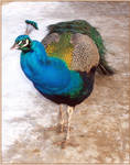 Peacock by magbag