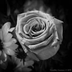 Wedding Bloom - Black and White 1