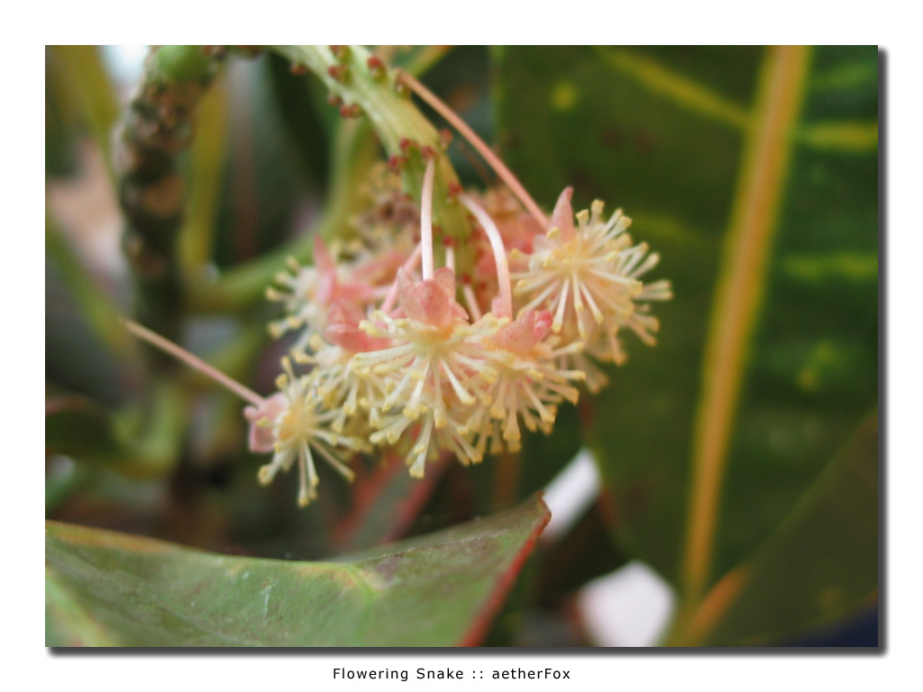Flowering Snake