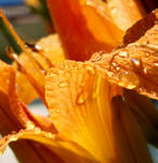 Wet Tiger Lily