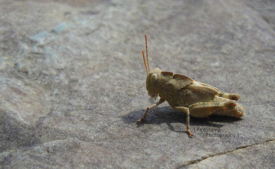 Grasshopper by FireStump