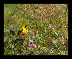 Goldfinch Thistle