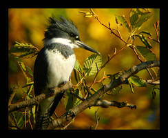 Fall Kingfisher by swashbuckler