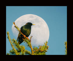 Starling and The Moon by swashbuckler