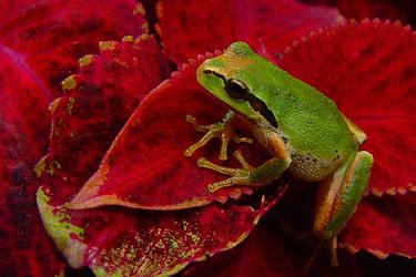 Little Tree Frog by swashbuckler