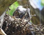 Long-eared Owl Peeking by swashbuckler
