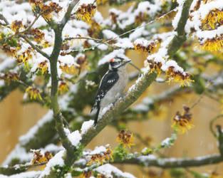 Downy  On Snowy Witchhazel by swashbuckler