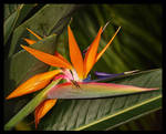 Bird of Paradise with Friend