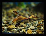 Sea Dragon by swashbuckler