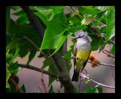 Western Kingbird by swashbuckler