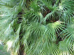 Fan Palm Leaves 2