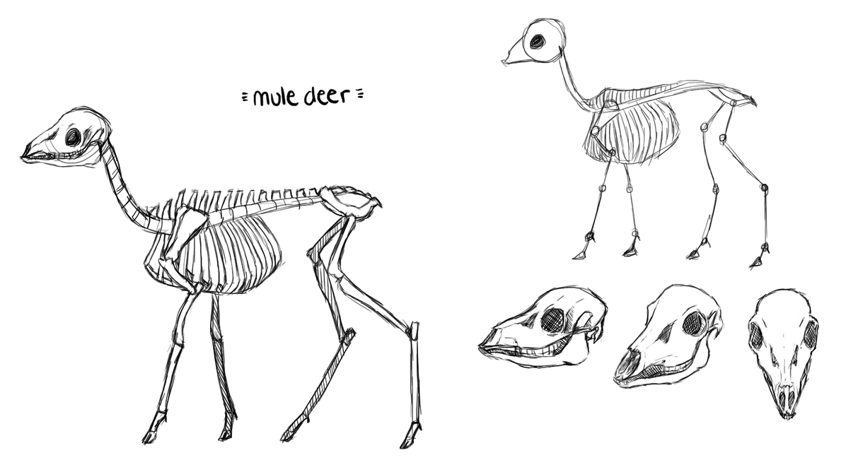 Mule Deer Bone Study by Winterette on DeviantArt