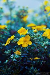 Yellow flowers by wolferish