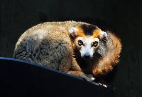 crowned lemur by mishkuu