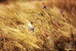 As we walked in fields of gold