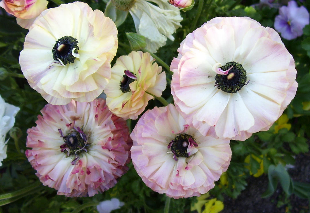 Flowers that look like poppies by tardisdreamer on deviantart flowers that look like poppies by tardisdreamer mightylinksfo